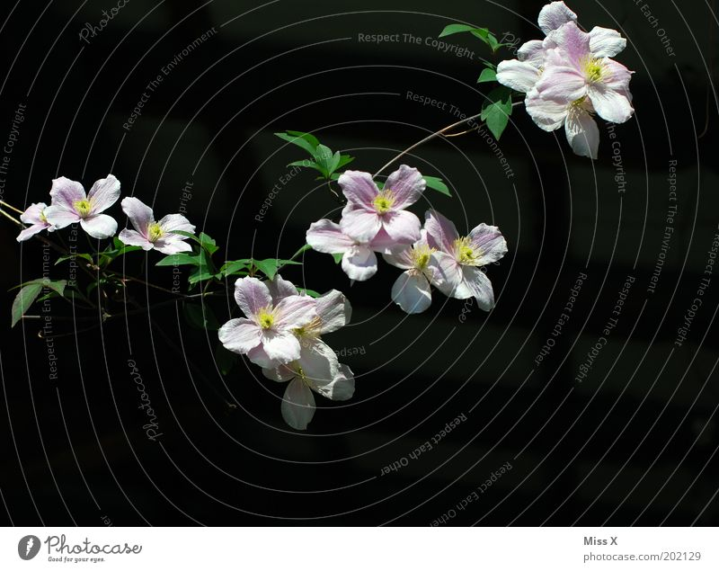 GARLAND Nature Summer Plant Flower Blossom Garden Park Blossoming Growth Clematis Pink Tendril Paper chain Colour photo Exterior shot Close-up Deserted