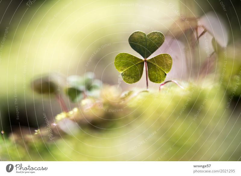 at ground level Nature Plant Spring Leaf Foliage plant Wild plant Clover Cloverleaf Forest Small Natural Brown Green Woodground Clearing Edge of the forest