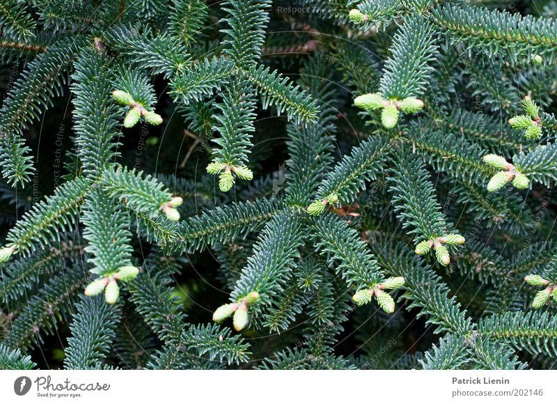 Nature Tree Plant Growth Branch Irritation Needle Coniferous trees Conifer