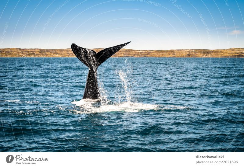 whale fin Environment Nature Ocean Swimming & Bathing Dive Whale Fin Humpback whale Habitat Water Marine mammal Colour photo Multicoloured Exterior shot Day