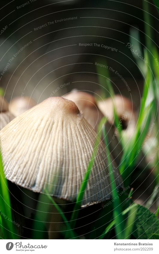 smurf umbrella Nature Spring Plant Grass Meadow Field Growth Near Natural Round Soft Brown Green Black Discover Mushroom cap Furrow Poison Edible Multiple