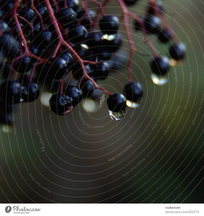 Nature Water Black Rain Healthy Drops of water Wet Violet Damp Berries Juicy Fruit Berry seed head Elderberry