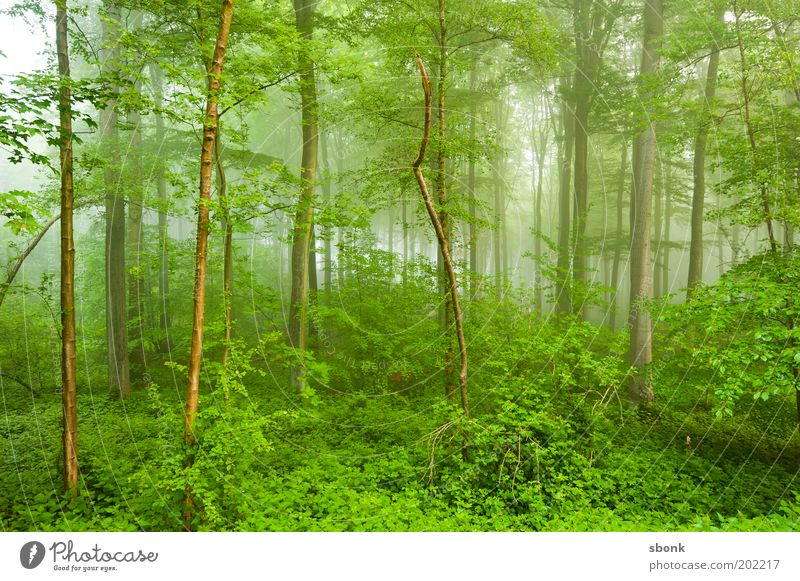 Nature Green Tree Plant Summer Forest Landscape Environment Wet Fog Fresh Bushes Virgin forest Environmental protection Fern Deciduous tree