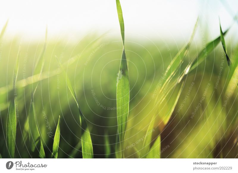 Barley seedlings Nature Green Grass Natural Grain Seedlings