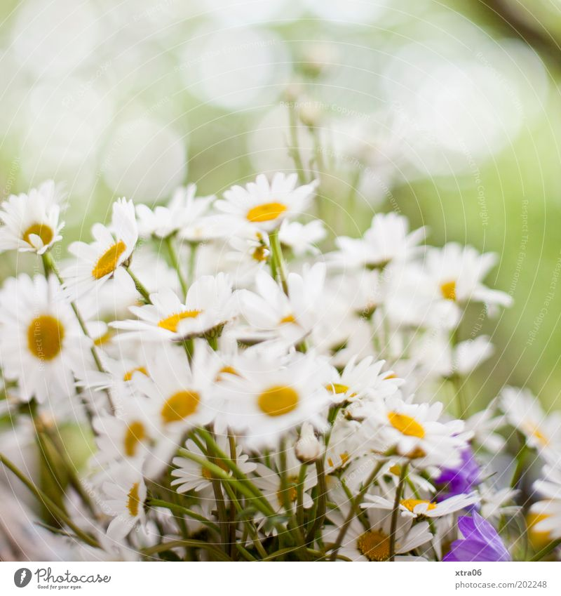 There again Plant Flower Fragrance Marguerite Daisy Bouquet Summer Spring Colour photo Exterior shot Close-up Day White Blossoming Deserted