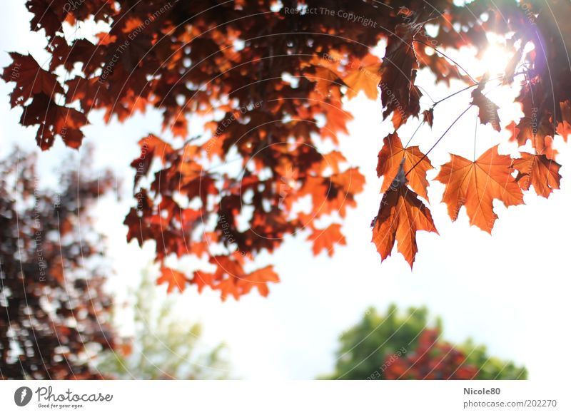 Nature Sky Tree Plant Spring Environment Growth Beautiful weather Environmental protection Branchage Maple tree Back-light Leaf canopy Natural growth Maple branch