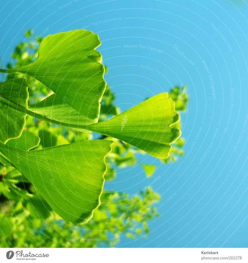 ginkon. Beautiful Environment Nature Sky Sunlight Beautiful weather Plant Tree Ginko Medicinal plant Blue Green Colour photo Multicoloured Exterior shot Detail
