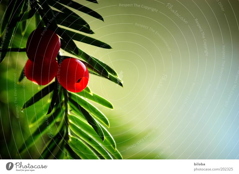 Nature Tree Green Red Autumn Fruit Esthetic Decoration Delicious Twig Berries Copy Space Coniferous trees Wild plant Yew