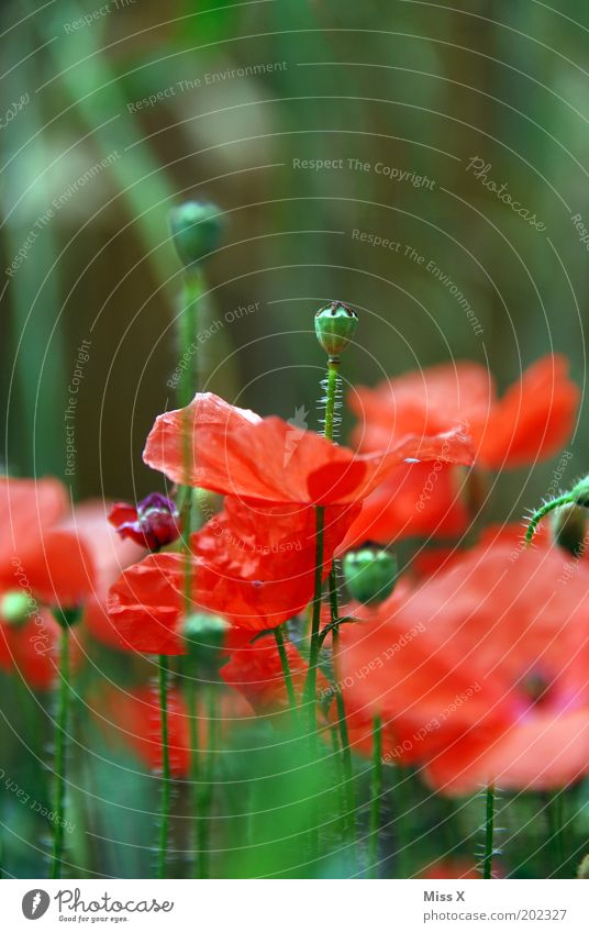 poppy II Intoxicant Nature Plant Summer Flower Blossom Agricultural crop Meadow Blossoming Growth Poppy Poppy blossom Seed Contrast Colour photo Multicoloured