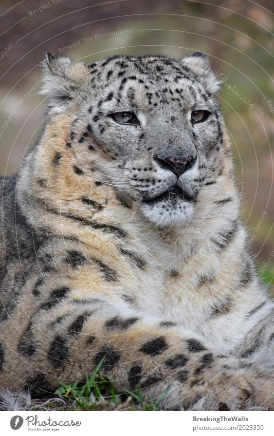 Close up portrait of male snow leopard Cat Nature Summer Green Relaxation Animal Grass Lie Power Sit Might Ground Self-confident Animal face Zoo Mammal