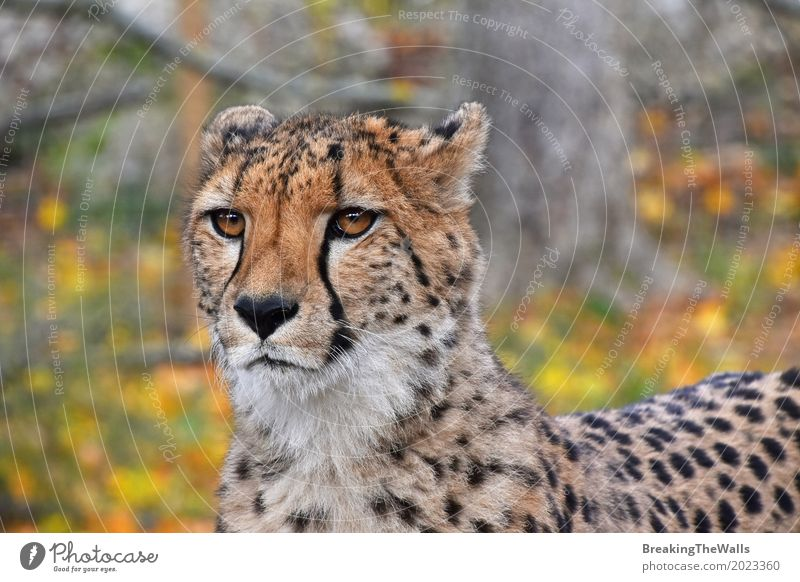 Close up front view portrait of cheetah looking at camera Cat Colour Green Leaf Animal Yellow Autumn Eyes Head Wild Wild animal Vantage point Stand Walking