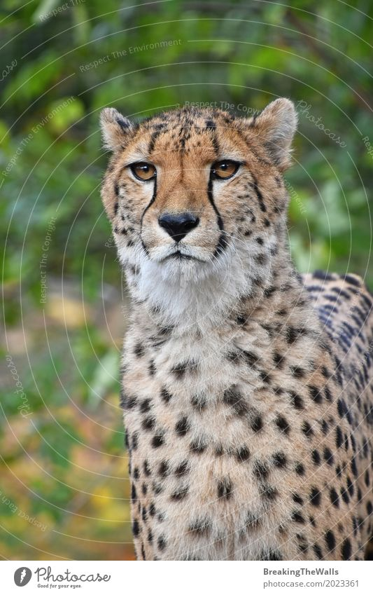 Close up portrait of cheetah looking at camera Summer Nature Animal Wild animal Cat Zoo 1 Walking Looking Stand Green Cheetah front Vantage point Low wildlife
