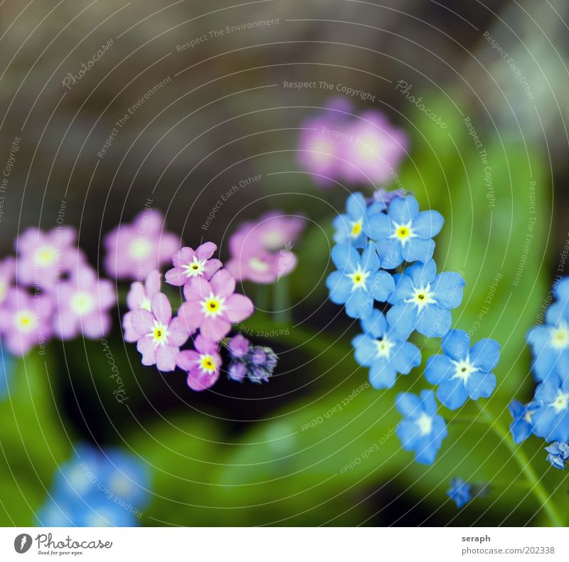 Nature Flower Blue Plant Summer Small Pink Background picture Sweet Growth Soft Blossoming Cute Botany Bud Verdant