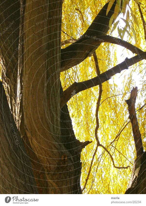 Weeping willow autumnal Tree bark Leaf Yellow Autumn Pasture Tree trunk