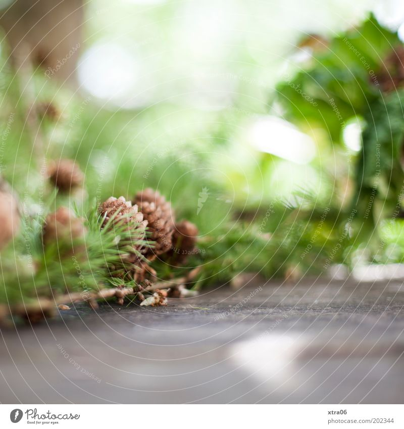 Nature Beautiful Green Authentic Twig Foliage plant Environment Fir cone Cone