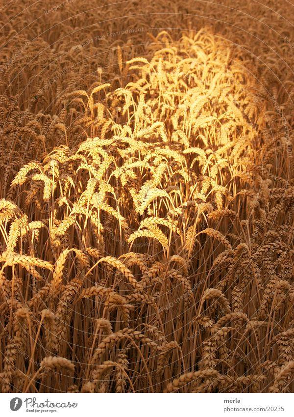 Grain in the light Blade of grass Summer Light Hoar frost Sun Beam of light