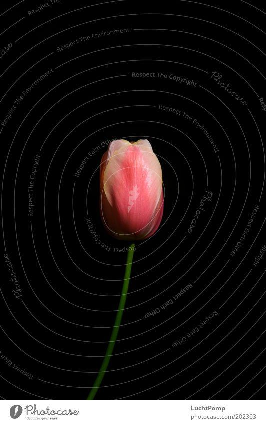 Delicate Noble Black Tulip Tulip blossom Stalk Blossom leave Pink Green Thin Summer Spring Neutral Background Light Transience Fresh Flower Dark Esthetic