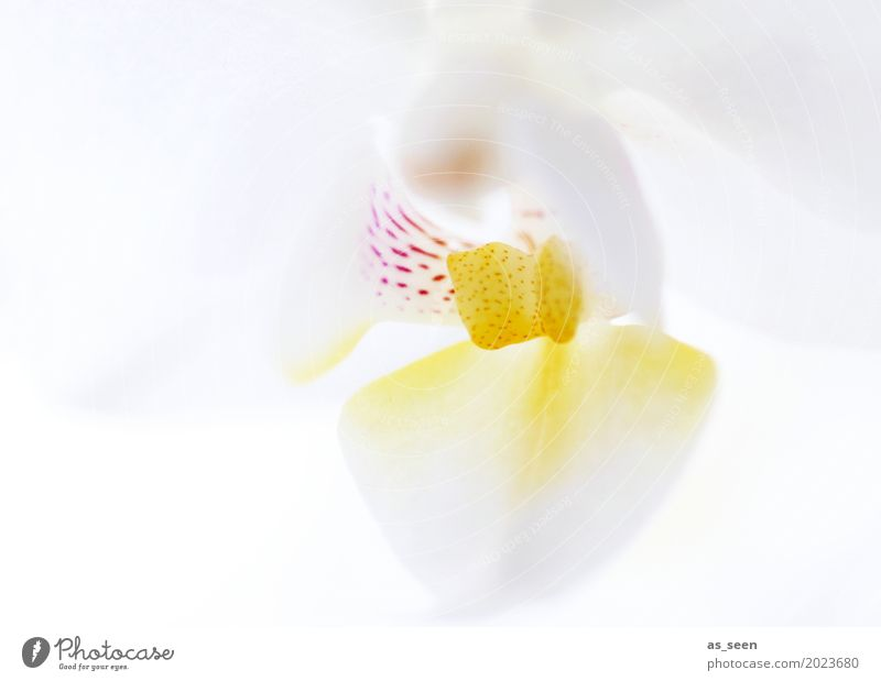 White Orchid Lifestyle Style Design Beautiful Personal hygiene Wellness Harmonious Senses Wedding Nature Spring Summer Plant Flower Orchid blossom Blossoming