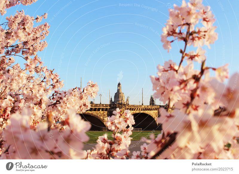 #AS# Dresden Blossom Art Esthetic Cherry blossom Baroque Pink Idyll Peaceful Bridge Elbtalaue Elbufer Elbbrücke Colour photo Subdued colour Multicoloured