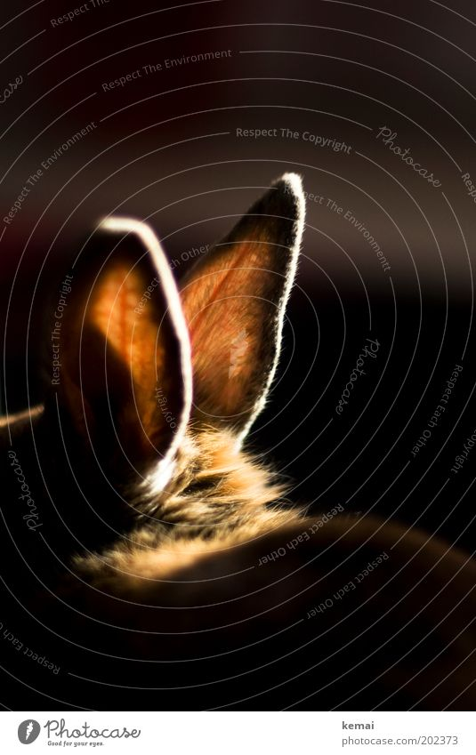 Hot ears Animal Pet Pelt Hare & Rabbit & Bunny Pygmy rabbit Ear Vessel Hare ears 1 Listening Illuminate Sit Dark Glittering Large Bright Soft Brown Black