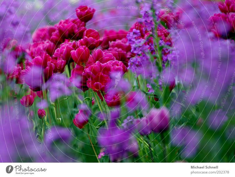 Red Plant Blossom Many Violet Flower Tulip Garden Blossom leave Multicoloured Flowerbed Carpet of flowers Tulip blossom