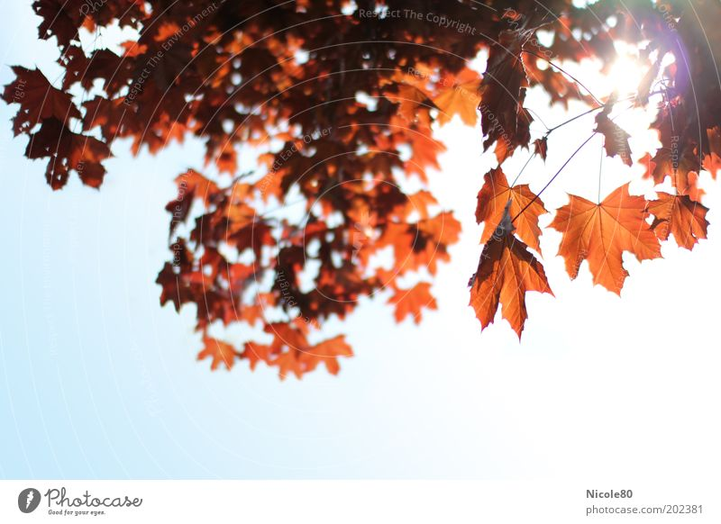 red maple in backlight II Environment Nature Cloudless sky Sunlight Tree Park Calm Maple tree Maple leaf Maple branch Autumn Autumn leaves Autumnal