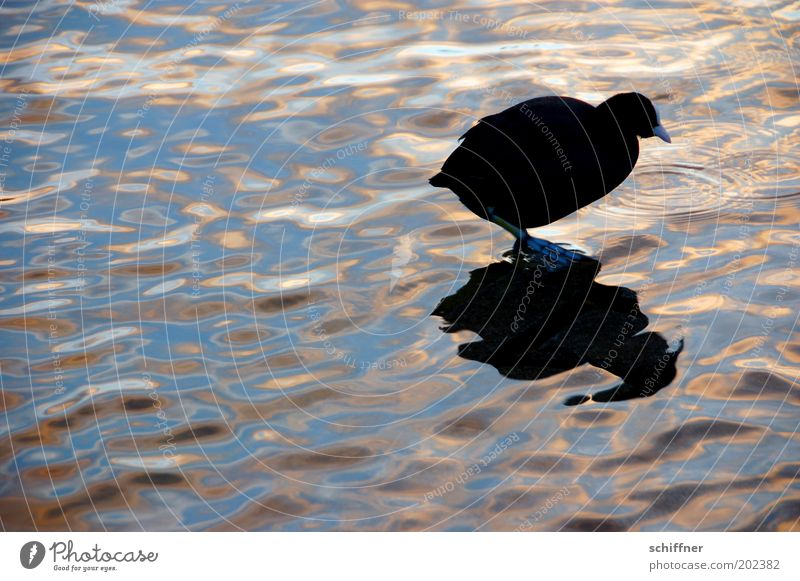Water Black Animal Lake Bird Small Going Round Romance Serene Curiosity Fat Pond Mirror image Foraging Surface of water