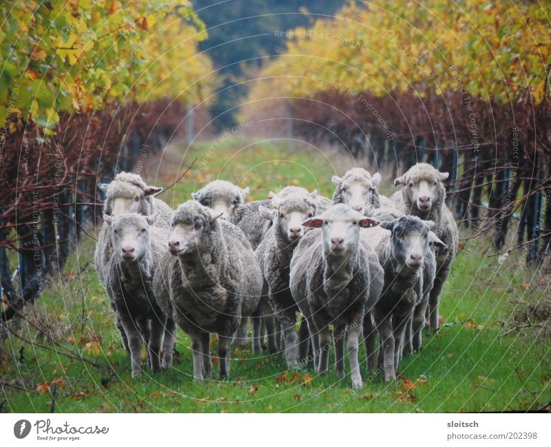 mowhhh Farm animal Group of animals Herd Power Team Lanes & trails Animal portrait Sheep Wool Cattle breeding Attachment Together