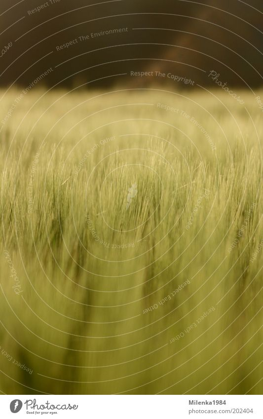 maigerste Summer Nature Landscape Plant Beautiful weather Agricultural crop Field Healthy Bright Soft Yellow Gold Green Barley Grain Colour photo Exterior shot