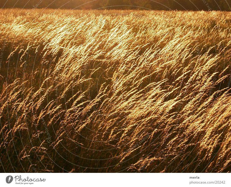 sea of grasses Meadow Blade of grass Waves Back-light Evening sun Wind Grassland