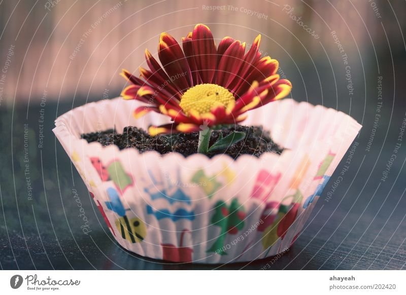 cupcake for you Muffin Flower Blossom Earth Multicoloured Colour Emotions Nature Gift Birthday Gerbera Surprise Cake Red Yellow Flowerpot Deserted