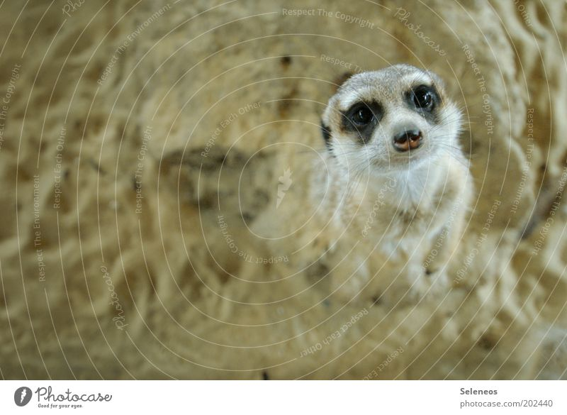 with big meerkat eyes! Zoo Nature Animal Earth Sand Wild animal Animal face Pelt Meerkat Rodent Observe Looking Stand Friendliness Curiosity Cute Soft