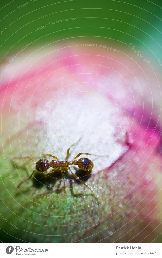 Around The World... Animal Ant Walking Search Bud Rose Green Nature Garden Insect Small Round Plant Biology Clear Interesting Colour photo