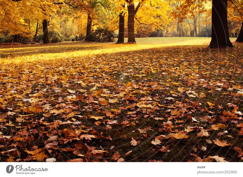 Nature Beautiful Old Tree Leaf Autumn Emotions Park Landscape Environment Gold Time Esthetic To fall Seasons Autumn leaves