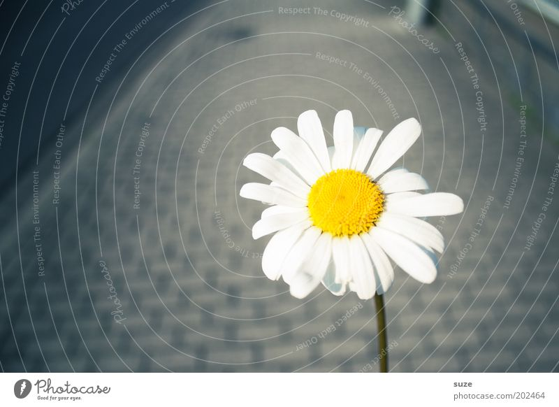 Flower Joy Loneliness Blossom Happy Gray Lanes & trails To go for a walk Simple Blossoming Illuminate Friendliness Sidewalk Footpath Daisy Paving stone
