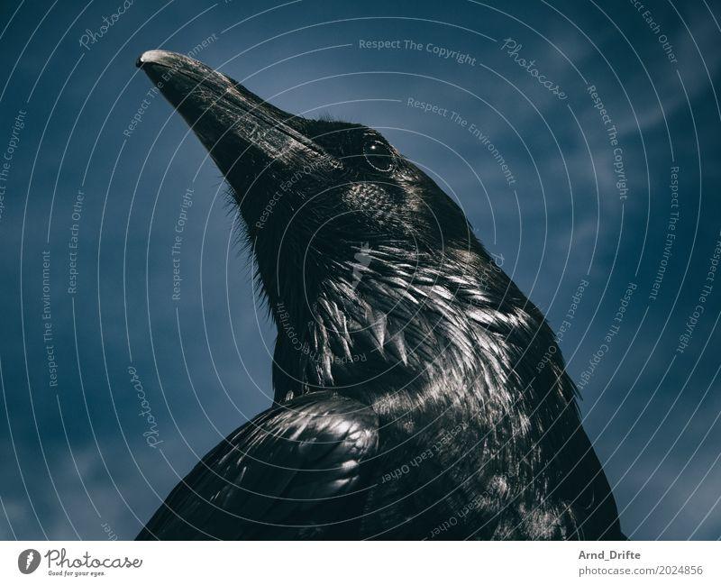 Raven to Winterfell II Nature Animal Sky Clouds Wild animal Bird Raven birds 1 Looking Cool (slang) Blue Black Arrogant Pride Majestic Beak Feather Dark