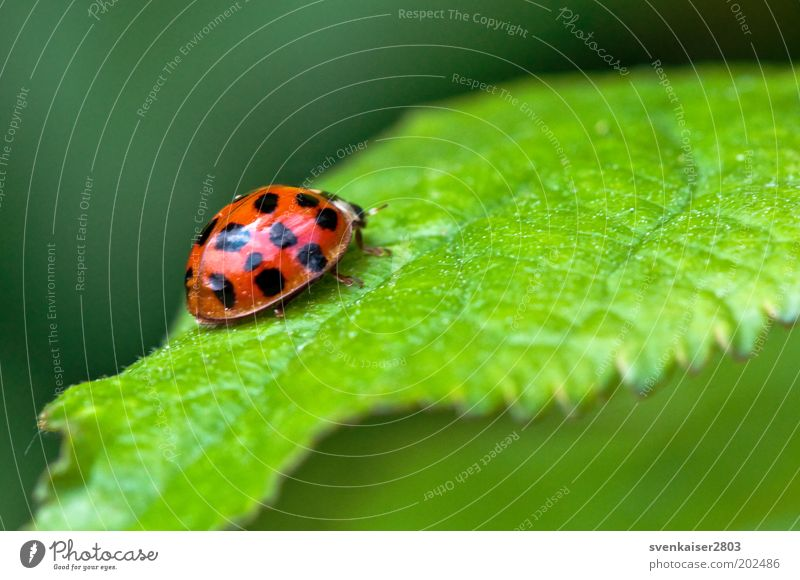 and bye! Environment Nature Plant Animal Summer Leaf Ladybird 1 Crawl Green Red Black Colour photo Multicoloured Exterior shot Close-up Macro (Extreme close-up)