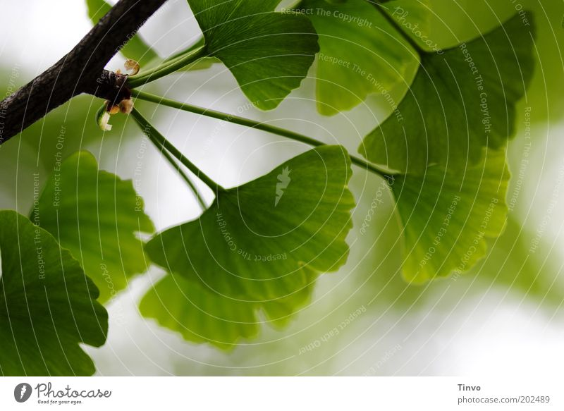 Ginkgo 3 Nature Spring Plant Leaf Park Green Ginko fan-shaped Far East Twig Tree of the millennium Notches Deciduous tree Growth Colour photo Exterior shot