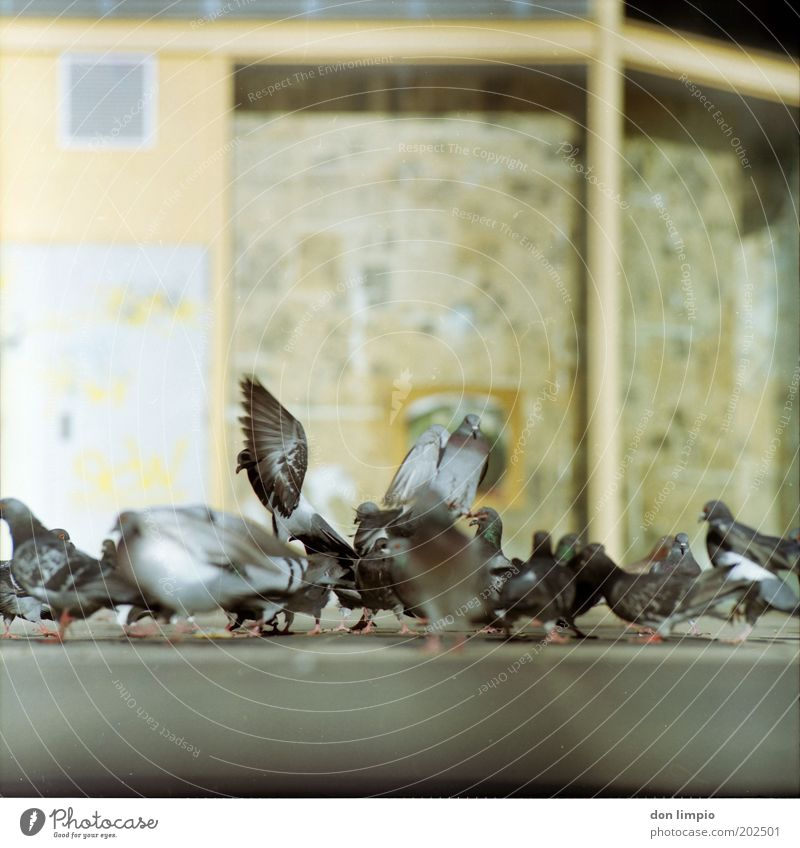 Pigeons 3 House (Residential Structure) Town Deserted Places Bird Flock Pair of animals Rutting season Flying Crouch Free Many Wild Movement Nature