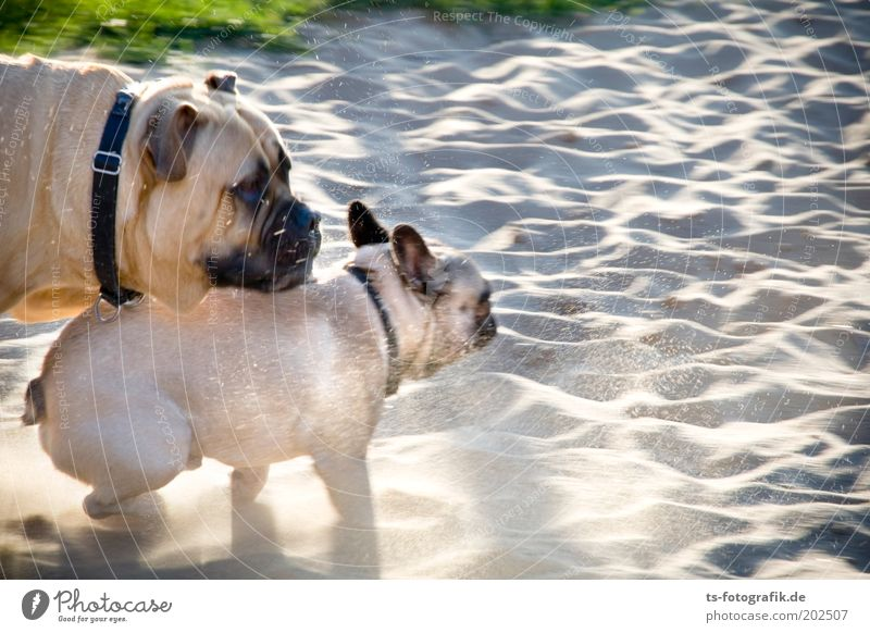 Nature Beach Animal Playing Grass Happy Gray Dog Park Sand Friendship Brown Together Power Walking Running