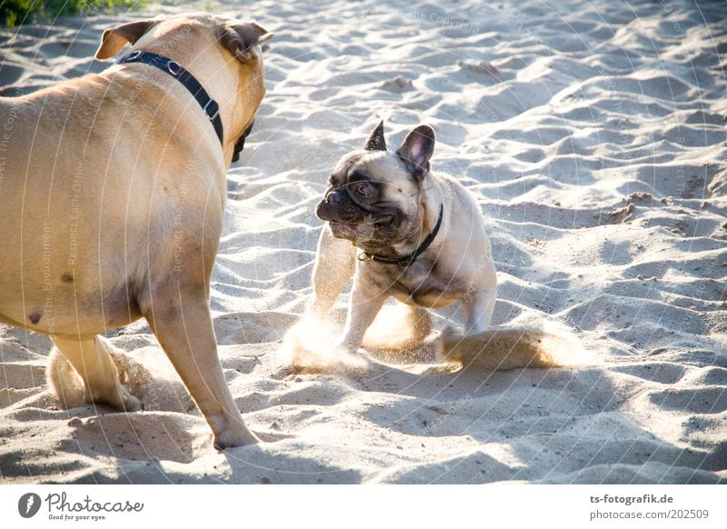 Nature Beach Animal Playing Grass Gray Dog Sand Friendship Brown Power Animal face Threat Joie de vivre (Vitality) Curiosity Cute