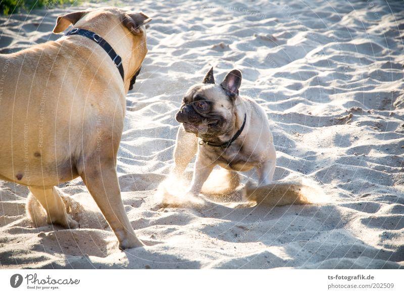 Nature Beach Animal Playing Grass Gray Dog Sand Friendship Brown Power Animal face Threat Joie de vivre (Vitality) Curiosity Cute