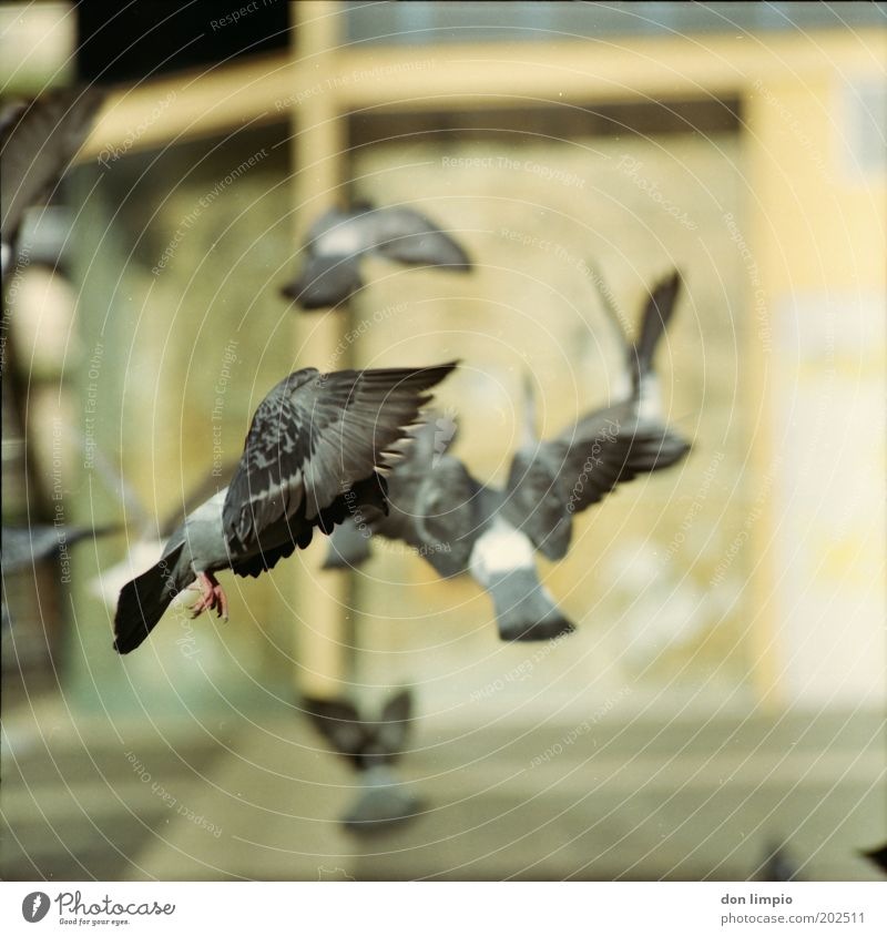 Nature Animal Gray Movement Bird Flying Places Free Wild Wing Feather Near Pigeon Experimental Blur Stagnating
