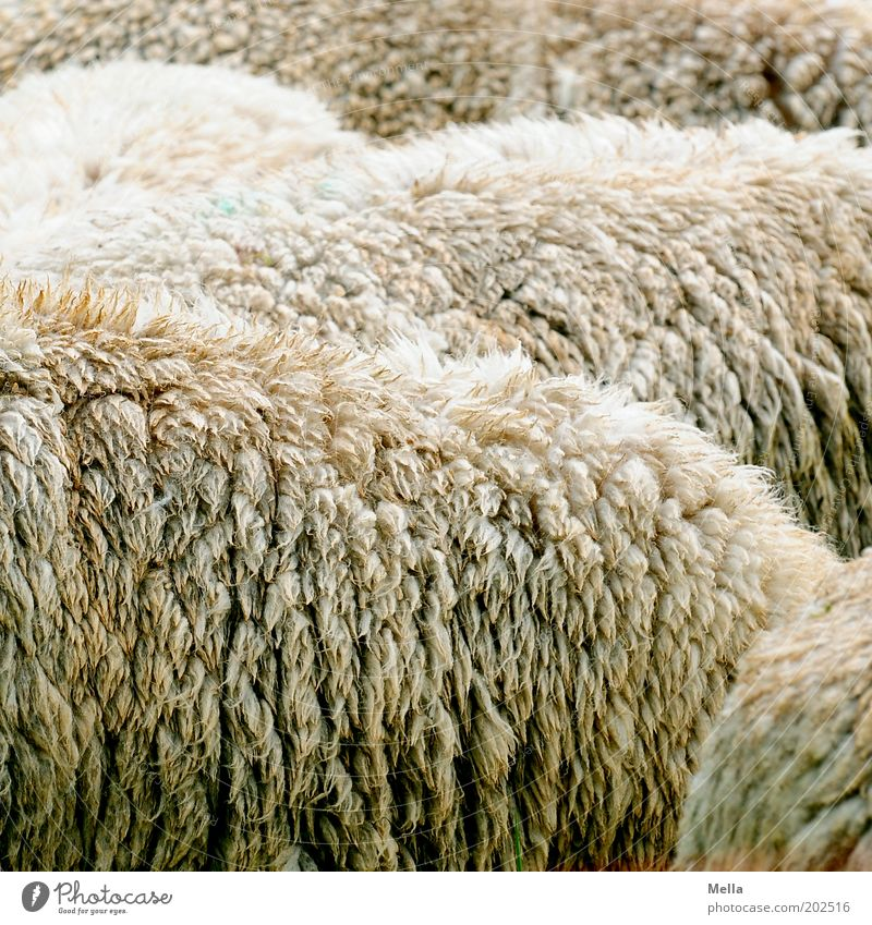 Full of sheep Animal Farm animal Pelt Sheep Group of animals Herd Simple Near Together Wool Raw materials and fuels Cattle breeding sheep breeding Colour photo