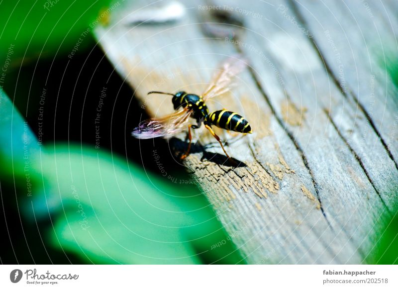 Wasp at the start Animal Summer Weather Beautiful weather Warmth Leaf Foliage plant Bee 1 Wood Observe Crawl Esthetic Threat Free Small Thorny Black Wasps