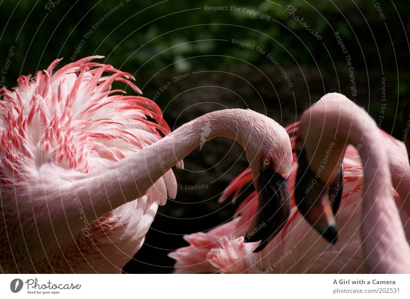 Look me in the eyes.... Nature Animal Bird Flamingo Group of animals Pink Aggression Exotic Colour Demand Rutting season Africa Beak Abstract Zoo Fight