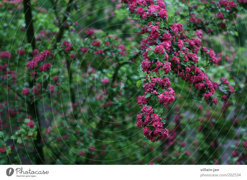 blossoms Nature Plant Tree Blossom Foliage plant Blossoming Growth Wet Green Violet Pink Environment Colour photo Exterior shot Deserted Shallow depth of field