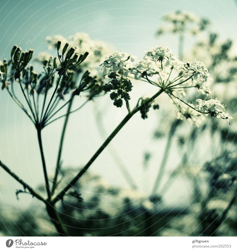 summer Nature Plant Flower Blossom Blossoming Growth Esthetic Natural White Simple Common Yarrow Spring Summer Meadow flower Normal Stalk Botany Biology