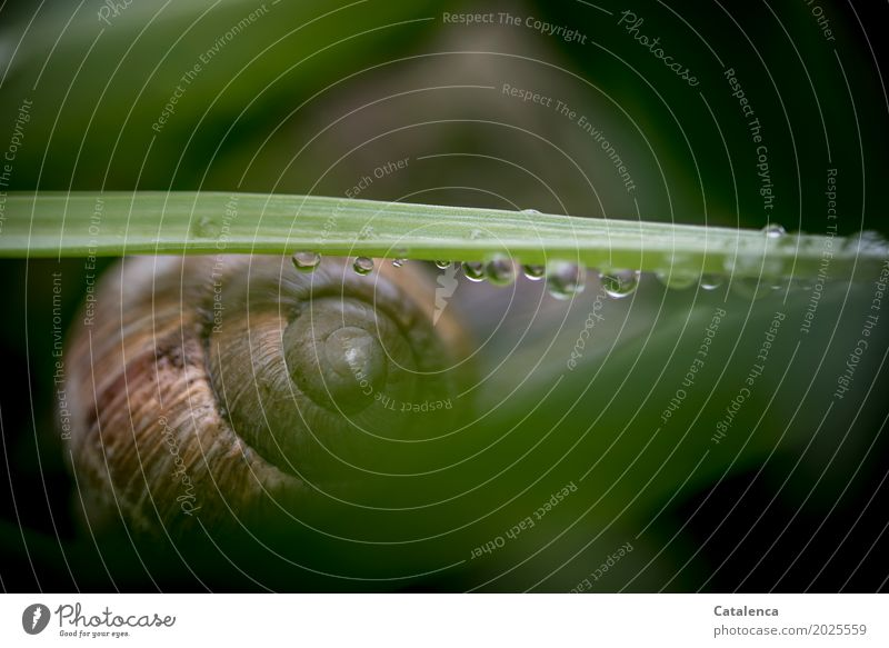 rainy Nature Plant Animal Drops of water Spring Bad weather Leaf Garden escargot 1 Snail shell Lie Esthetic Near Wet Brown Green Black Protection Attentive