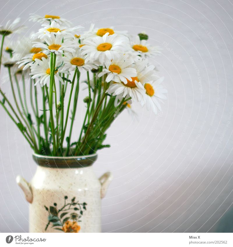 Flower Plant Blossom Bright Decoration Pure Blossoming Fragrance Nostalgia Vase Marguerite